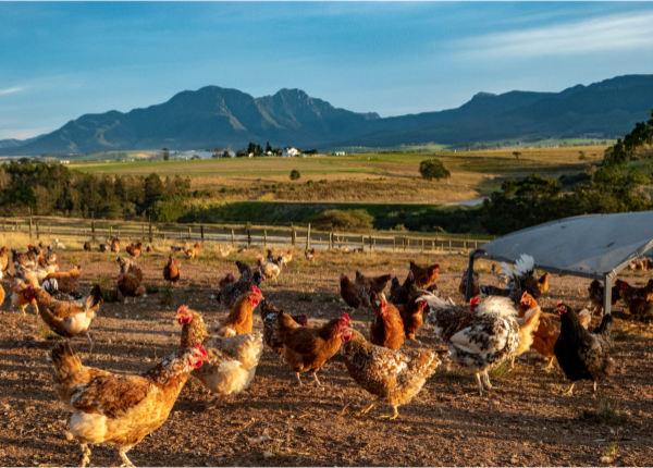 Boschveld laying hens